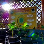 Doca-Kaffeepflanze