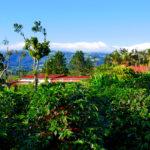 Kaffee-Plantage